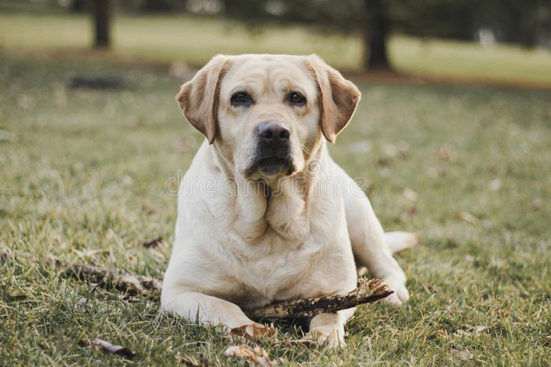 Yellow, female Labrador Retriever portrait stock images