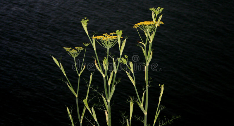 Yellow fennel dark sea. royalty free stock images