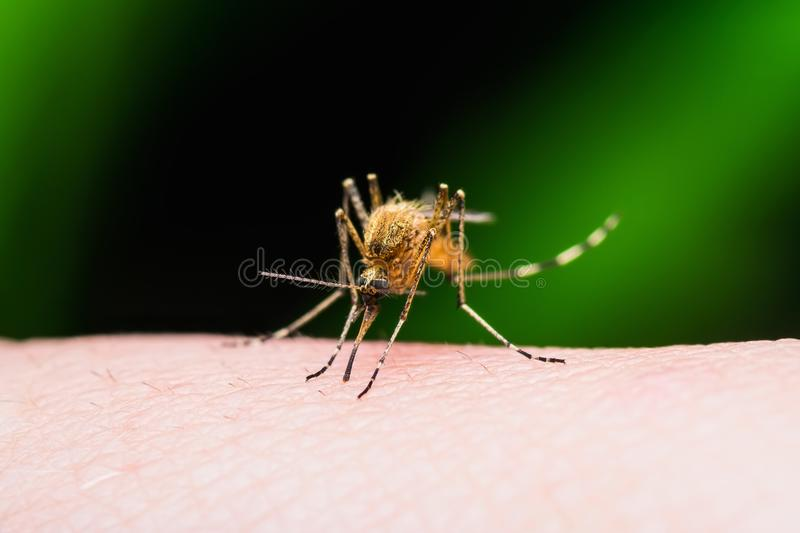 Yellow Fever, Malaria or Zika Virus Infected Mosquito Insect Bite Isolated on Black. Backgound royalty free stock photo
