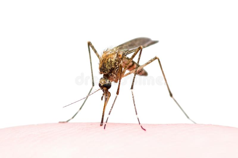Yellow Fever, Malaria or Zika Virus Infected Mosquito Insect Bite Isolated on White. Macro Photo of Yellow Fever, Malaria or Zika Virus Infected Mosquito Insect royalty free stock photo