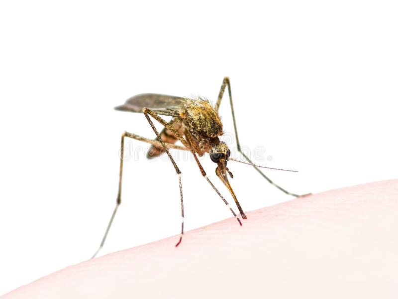 Yellow Fever, Malaria or Zika Virus Infected Mosquito Insect Bite Isolated on White. Macro Photo Yellow Fever, Malaria or Zika Virus Infected Mosquito Insect stock image