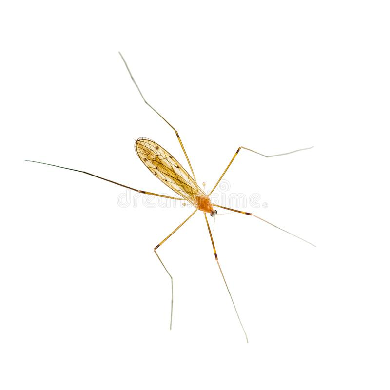 Yellow Fever, Malaria or Zika Virus Infected Mosquito Insect Iso royalty free stock photo