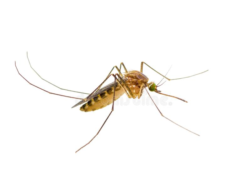 Yellow Fever, Malaria or Zika Virus Infected Mosquito Insect Isolated on White. Background royalty free stock photo