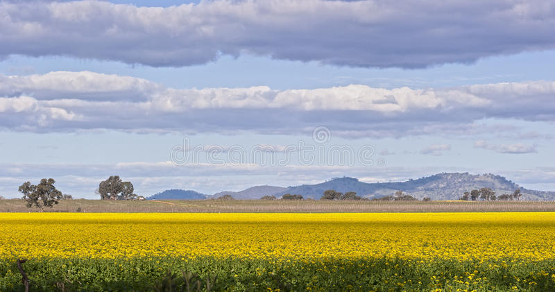 Yellow Field. Canola flowers in a field near Wangarata, Australia stock photography