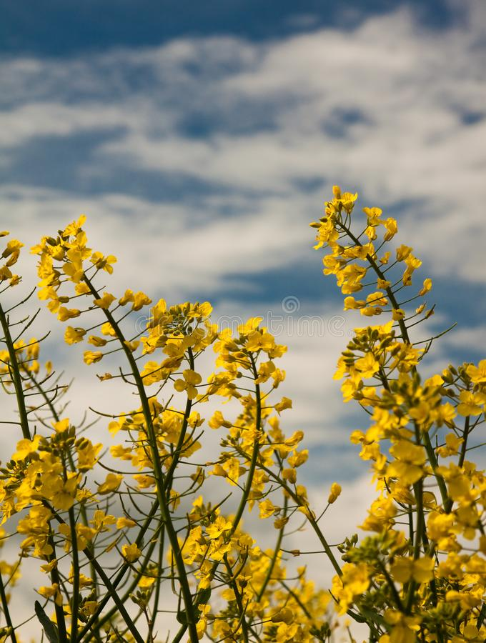 Yellow Field Blooms royalty free stock photography