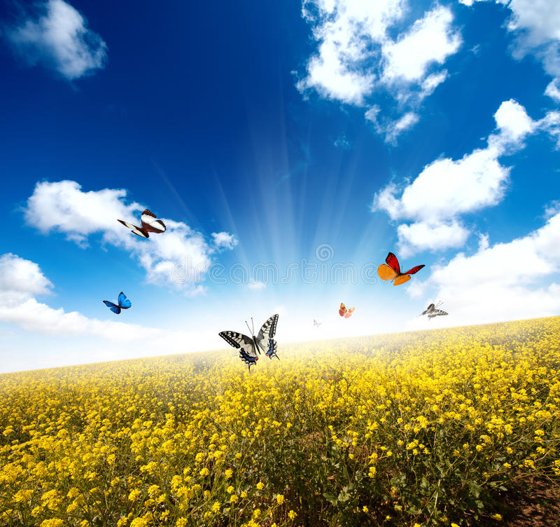 Yellow field with butterfly. Yellow field with sun ray and butterfly stock image