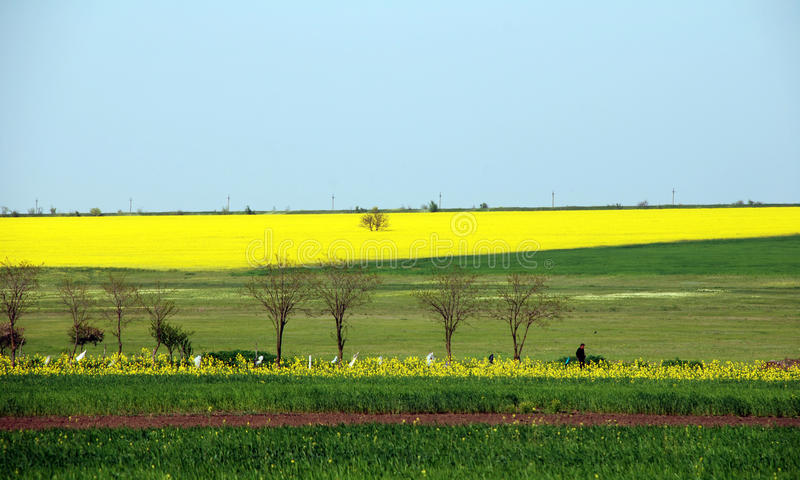 Yellow field of canola royalty free stock photography