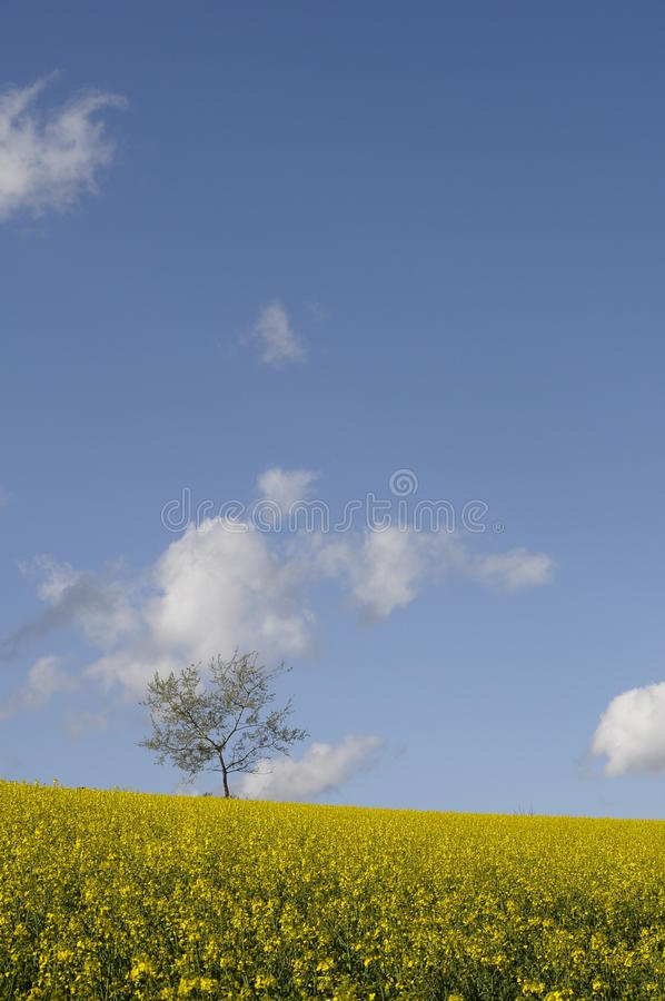 Download Yellow Field Of Colza Flower Stock Photo - Image of flower, tracks: 24431946