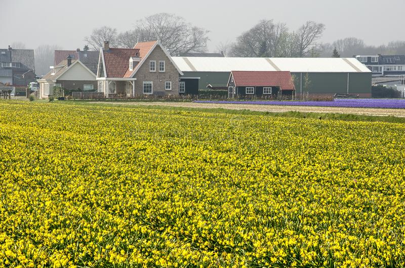 Yellow field of daffodils. Hillegom, the Netherlands, April 2, 2019: yellow field of narcissi with a farmers house and farm buildings in the background royalty free stock images