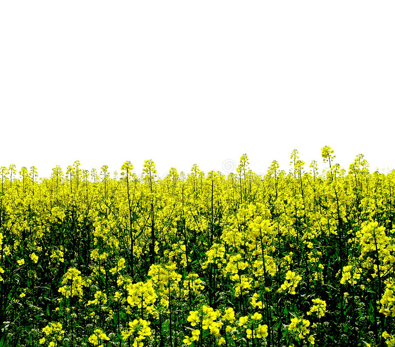 Download Yellow Field of Flowers stock photo. Image of flower, field - 867804