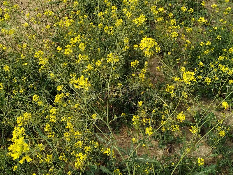 Yellow field flowers in Spain. Photo taken in 2019 stock photography