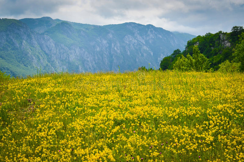 Yellow field in front of mountains stock photo