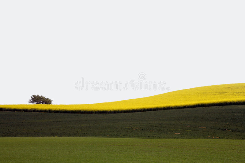 Yellow field with oil seed in early spring royalty free stock images