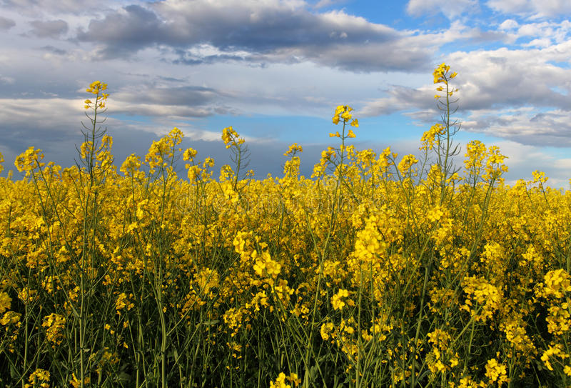 Yellow field - royalty free stock image