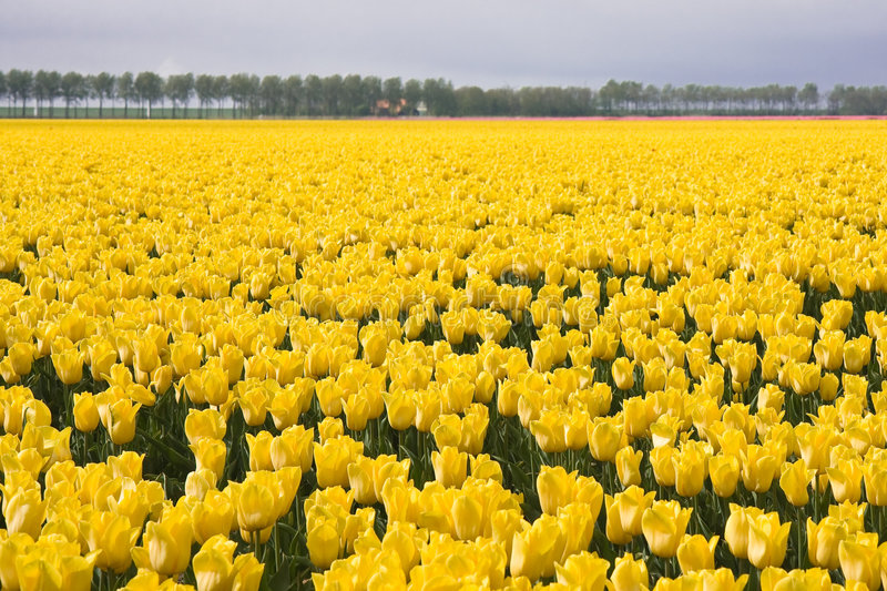 Yellow field of tulips. Endless field of yellow tulips towards the horizon royalty free stock image