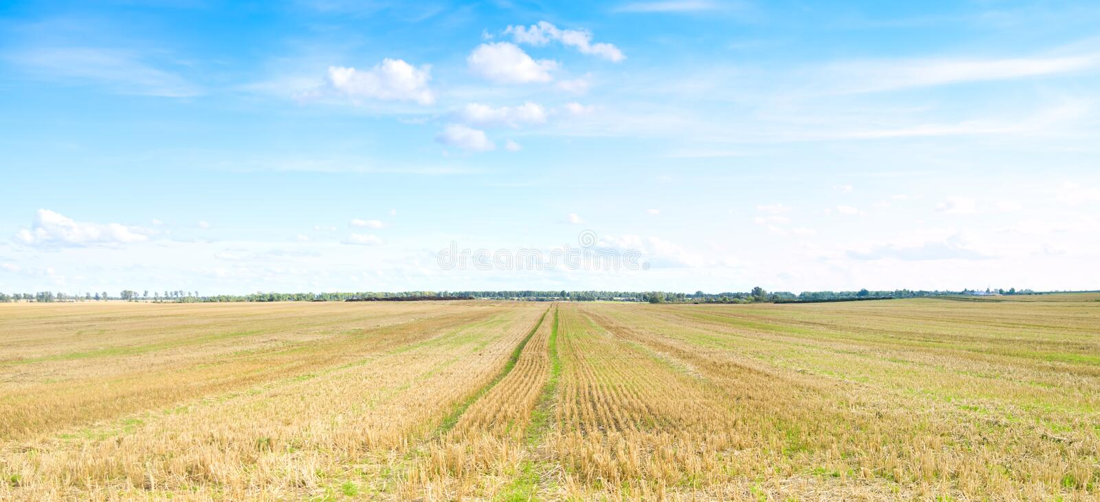Download Yellow Field Of Wheat Cuted Under Midday Sun. Stock Photography - Image: 17351012