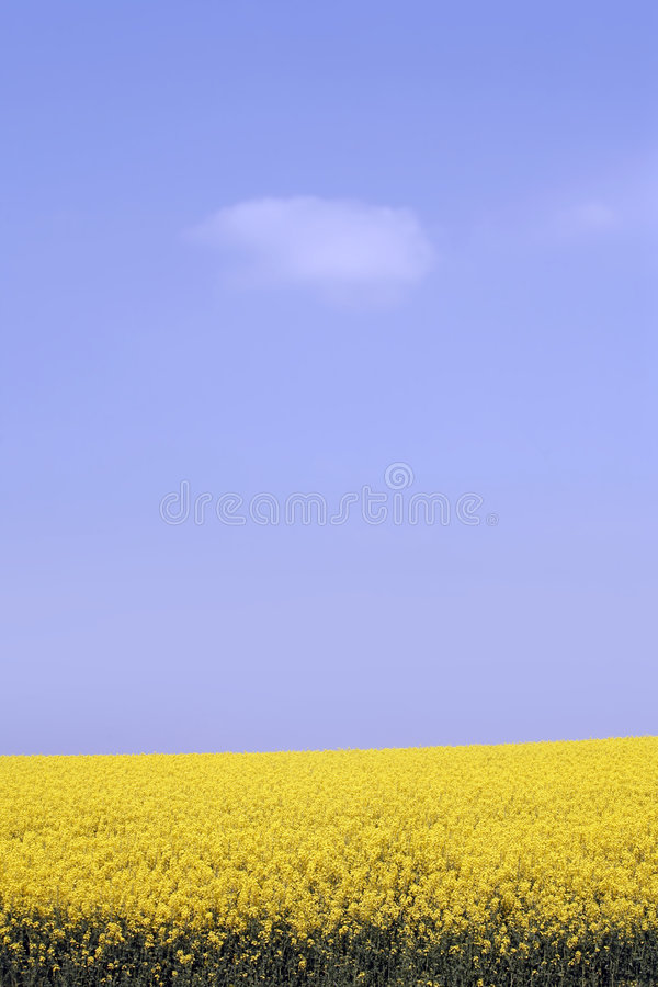 Free Yellow Field With Oil Seed In Early Spring Stock Photos - 5182383