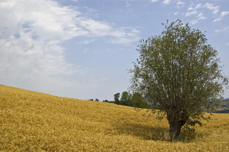 Yellow fields. A wheat field on the alps, italy stock photography