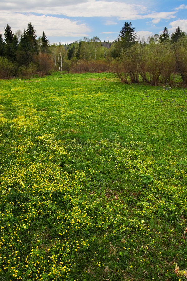 Download Yellow Fields And Trees. Sibir. Stock Image - Image: 816627