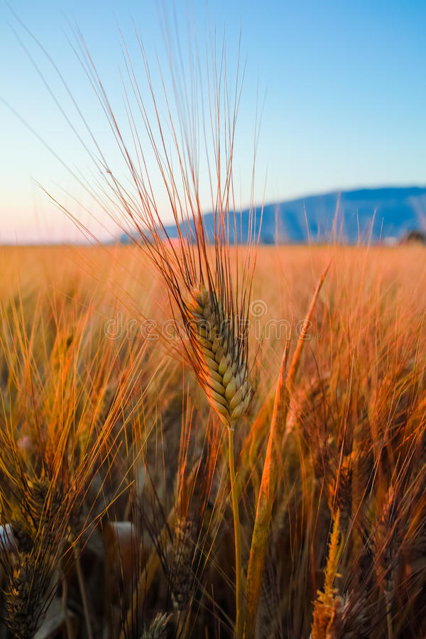 Free Yellow Fields With Ripe Hard Wheat, Grano Duro, Sicily, Italy Royalty Free Stock Images - 94748439