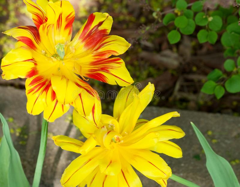 Yellow and Fiery Red Flowers. Bright and beautiful yellow flowers with fiery red on pedals or veins stock photos