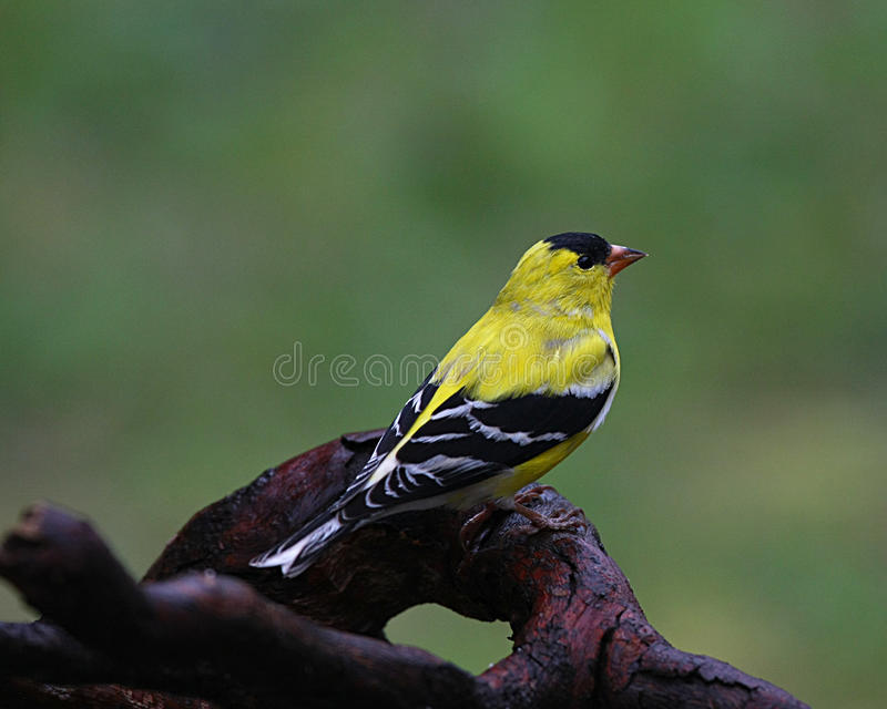 Yellow Finch on Driftwood royalty free stock image
