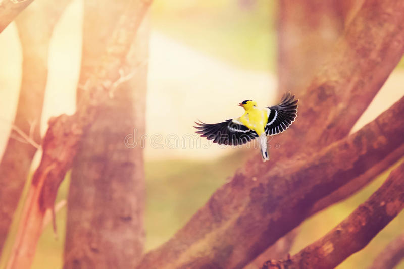 Yellow finch in flight stock image