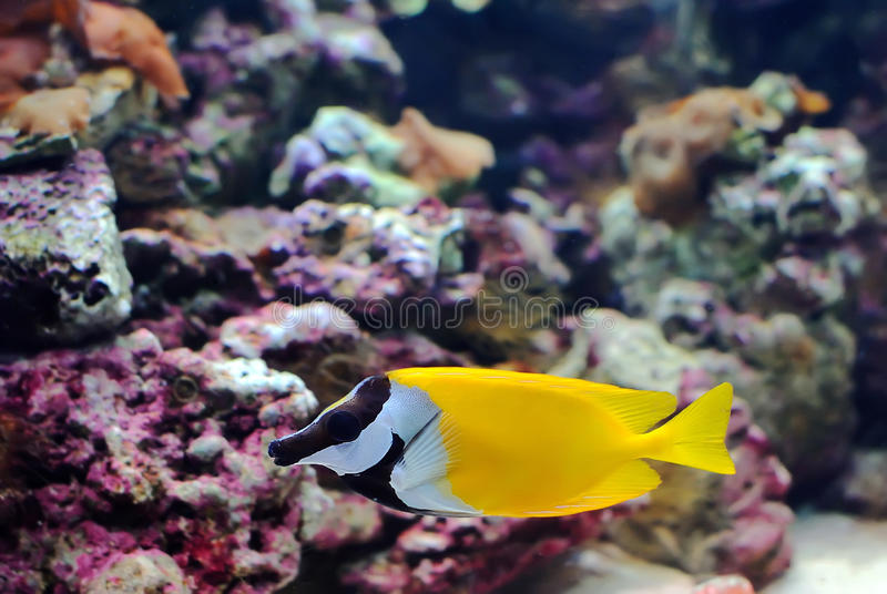 Download The yellow fish stock photo. Image of color, bright, fins - 23569252