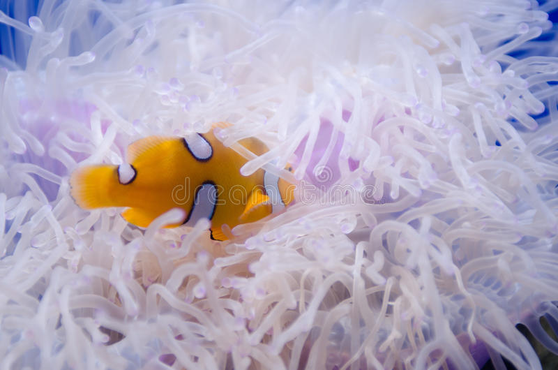 The yellow fish royalty free stock images