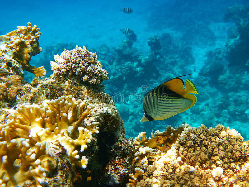 Download Yellow fish stock photo. Image of dive, reef, coral, background - 25999338