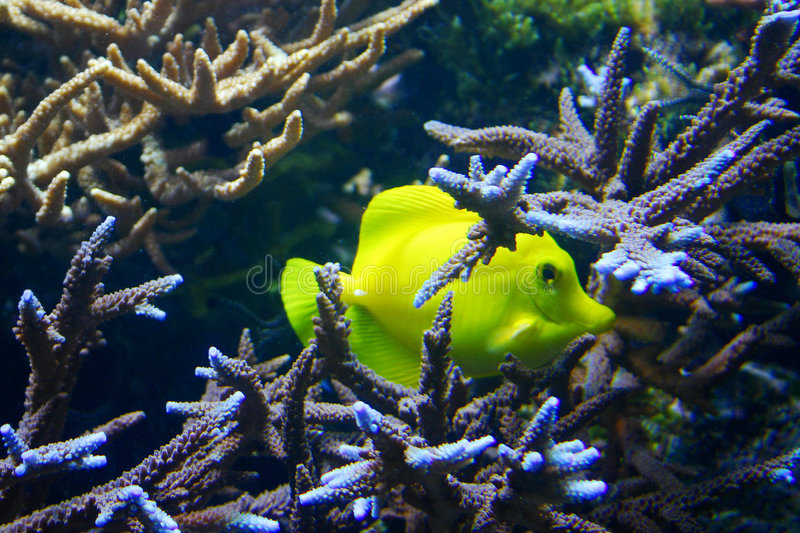 Yellow Fish royalty free stock photos