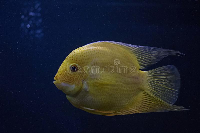 Yellow Fish in Close-up Photography stock photography