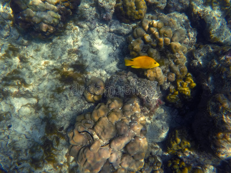 Yellow fish in coral reef, yellow wrasse in corals, royalty free stock photography