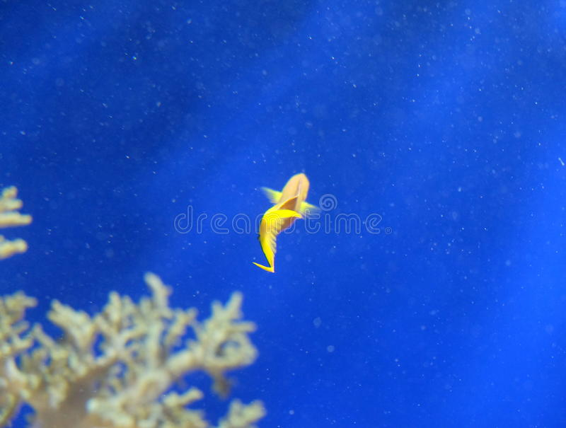 Yellow Fish in sea royalty free stock photos