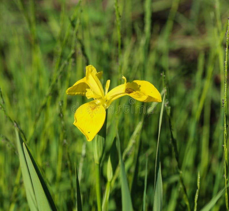 Yellow flag, yellow iris or water flag (Iris pseudacorus) flower blooming in spring. Close up of yellow flag, yellow iris or water flag (Iris pseudacorus) flower royalty free stock photos