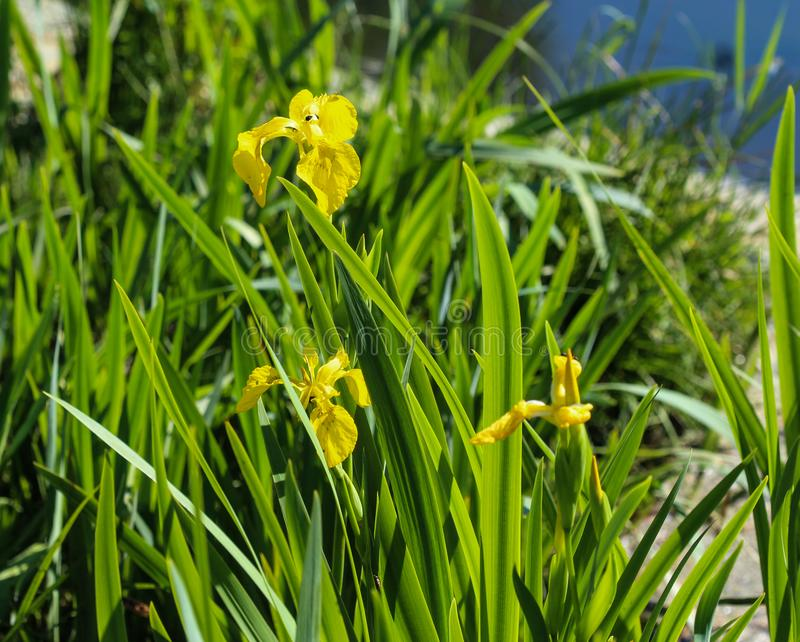 Yellow flag, yellow iris or water flag (Iris pseudacorus) flower blooming in spring. Close up of yellow flag, yellow iris or water flag (Iris pseudacorus) flower stock images