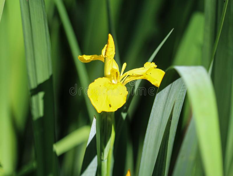 Yellow flag, yellow iris or water flag (Iris pseudacorus) flower blooming in spring. Close up of yellow flag, yellow iris or water flag (Iris pseudacorus) flower stock photography