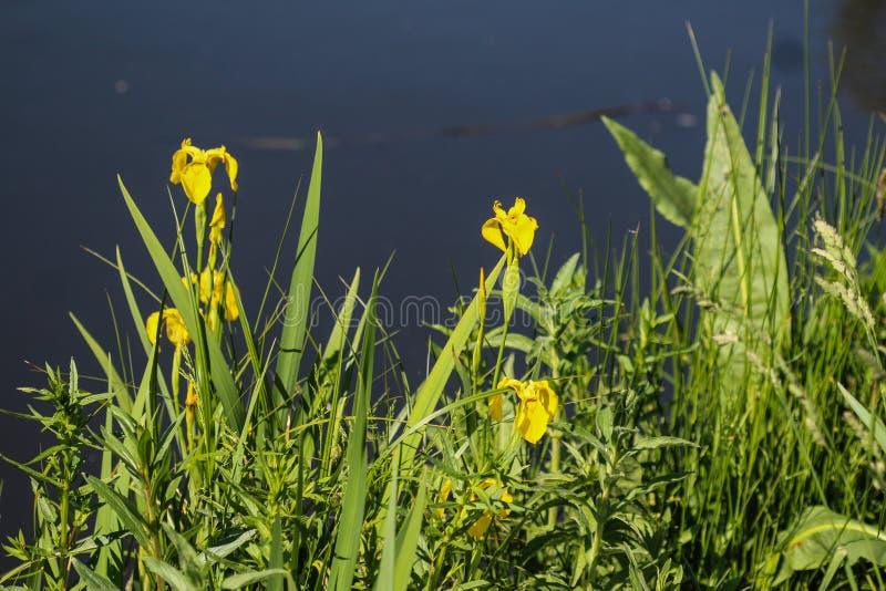 Yellow flag, yellow iris or water flag (Iris pseudacorus) flower blooming in spring. Close up of yellow flag, yellow iris or water flag (Iris pseudacorus) flower stock photos