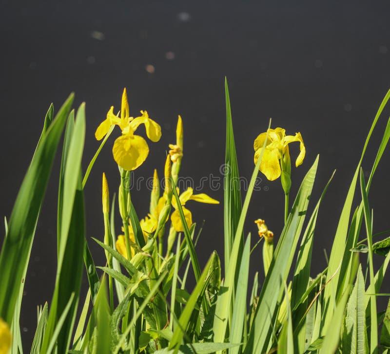 Yellow flag, yellow iris or water flag (Iris pseudacorus) flower blooming in spring. Close up of yellow flag, yellow iris or water flag (Iris pseudacorus) flower stock image