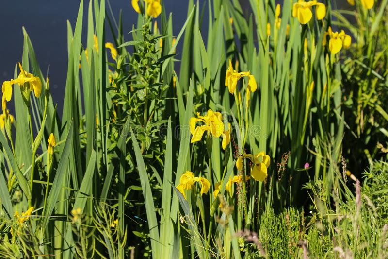 Yellow flag, yellow iris or water flag (Iris pseudacorus) flower blooming in spring. Close up of yellow flag, yellow iris or water flag (Iris pseudacorus) flower royalty free stock image