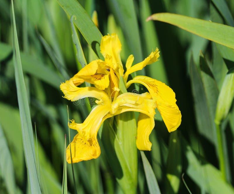 Yellow flag, yellow iris or water flag (Iris pseudacorus) flower blooming in spring. Close up of yellow flag, yellow iris or water flag (Iris pseudacorus) flower stock photo