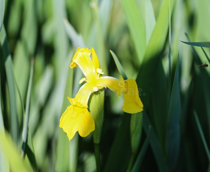 Yellow flag, yellow iris or water flag (Iris pseudacorus) flower blooming in spring. Close up of yellow flag, yellow iris or water flag (Iris pseudacorus) flower royalty free stock photo