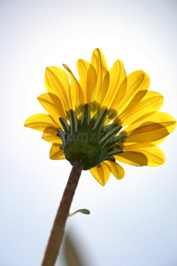 Yellow flower royalty free stock image