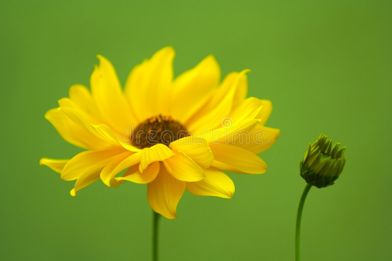 Yellow flower. On a green background royalty free stock photography