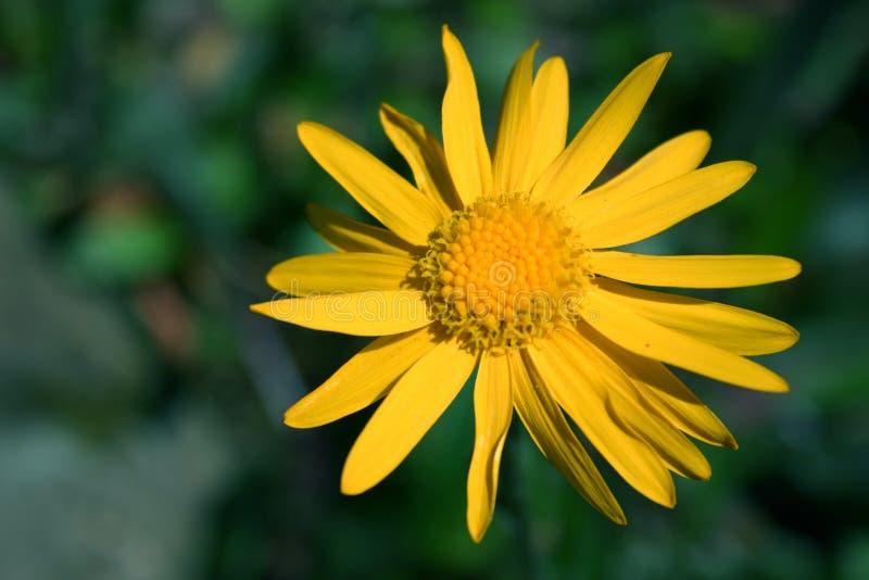 Yellow Flower Free Stock Image
