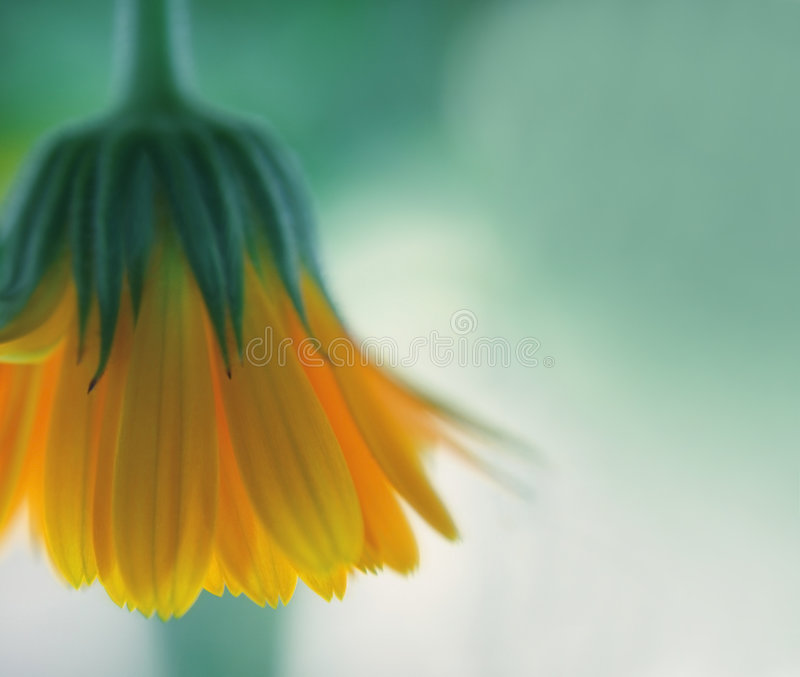 Download Yellow flower stock photo. Image of flower, delicate, creation - 4646794