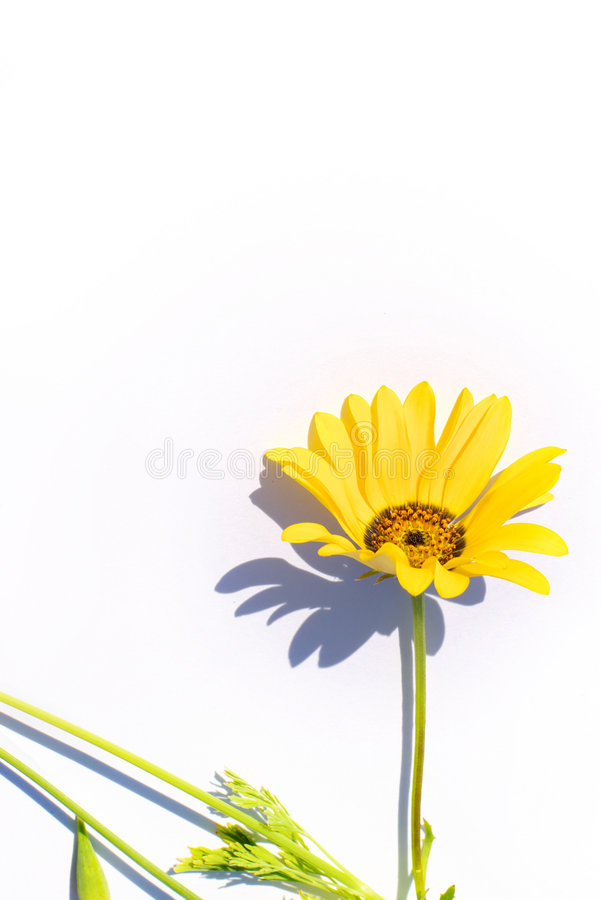 Yellow flower. Flower on a white background with a shadow, yellow dimorphoteca stock images