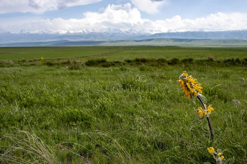 Yellow flower against a green valley and mountains with snowy peaks against a cloudy sky. Traveling in Kyrgyzstan.  royalty free stock image