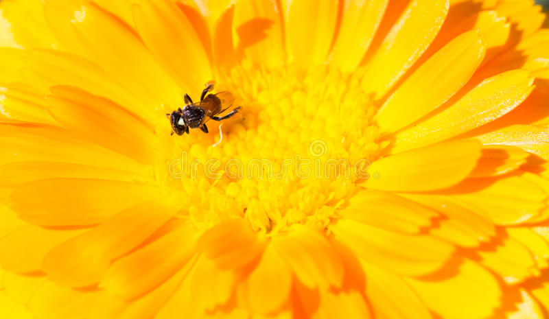 Yellow flower background. Yellow gerbera flower background with orange petals and a small little bee sucking nectar. Gardening and spring background with copy stock photography