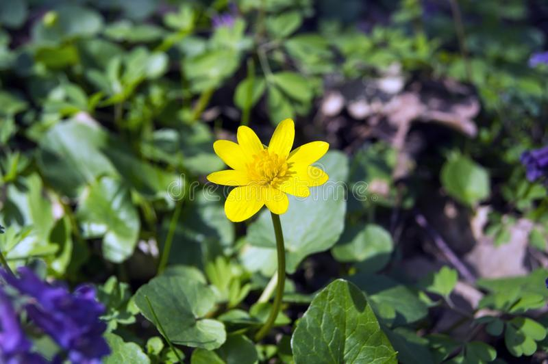 Yellow flower on a background of green grass royalty free stock photo